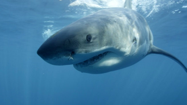 Study: Great White Shark Numbers Surging