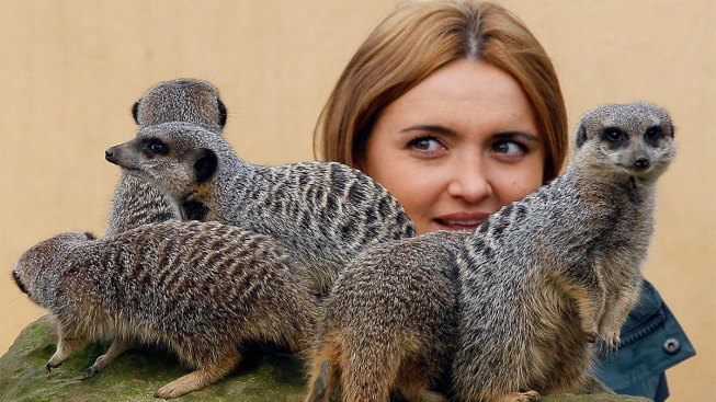 Meerkat Expert Cleared of Assault in Zoo Love Triangle Spat