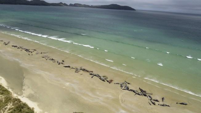 145 Pilot Whales Die in Stranding on New Zealand Beach