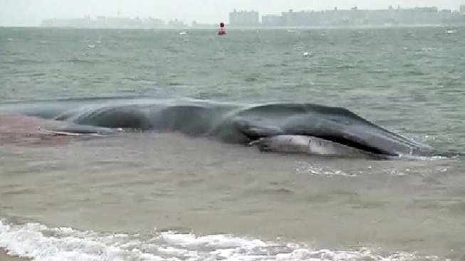Crews, Bystanders Save Beached Whale in Jersey Shore