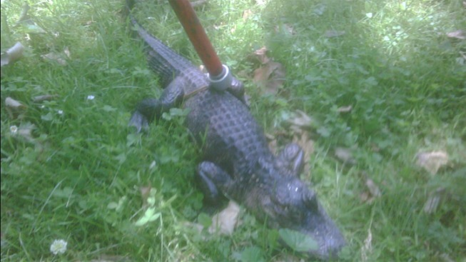 Another Alligator Found in Bethlehem