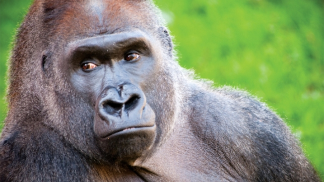 Philly's Beloved Gorilla Died of Throat Infection