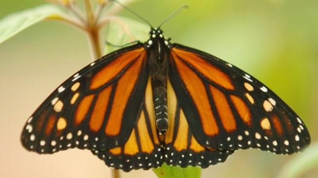 Experts Fear Decrease in Monarch Butterflies