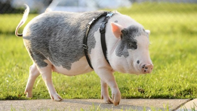 Woman Fights Town Over Pet Pig