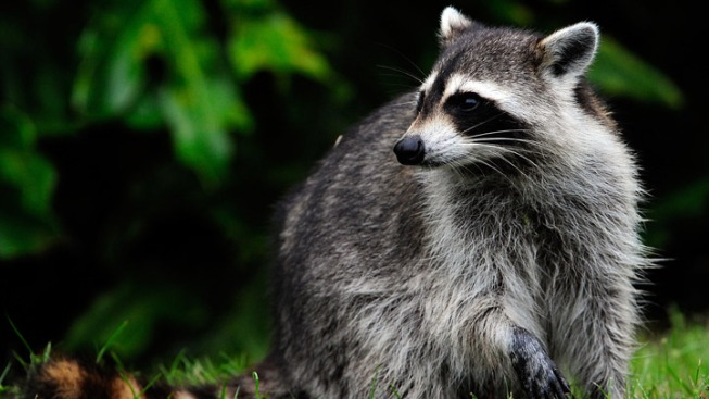Dog Kills Raccoon With Rabies in Middle Township