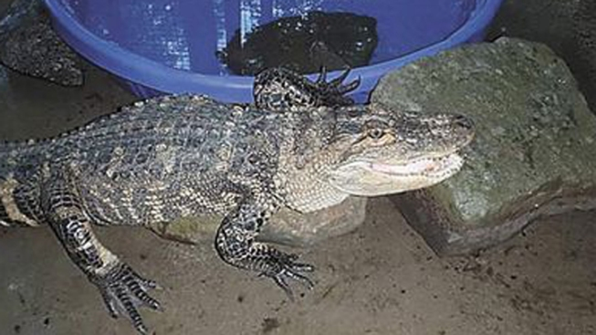Police Search for Owner of 5-Foot Pet Gator