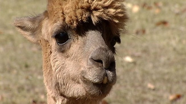 Coyotes Kill 2 Baby Alpacas on Pa. Farm