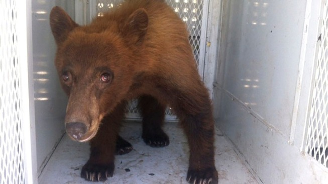 Bear Captured in Blue Bell