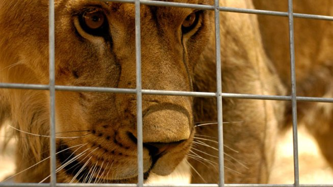 Lion Kills Intern at Calif. Animal Sanctuary