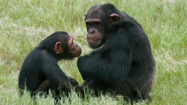 "Even Apes Have ""Midlife Crises,"" Study Finds"