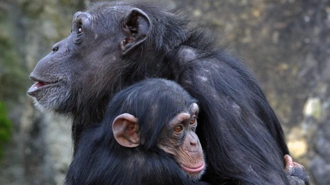 Philadelphia Zoo Introduces the Great Ape Trail