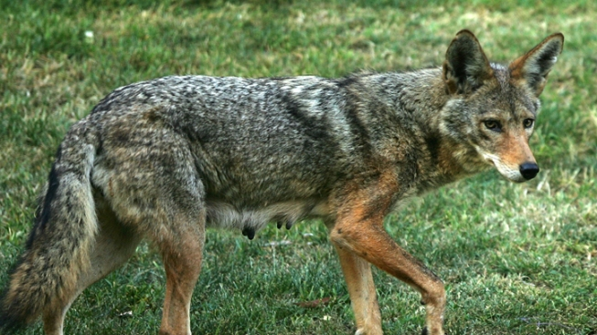 New Jersey Community on Alert After Reported Coyote Attack on Pet Dog