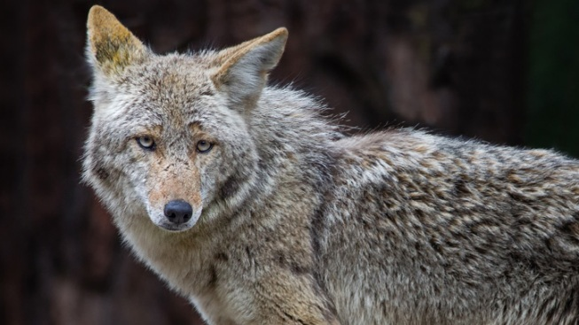 Coyote Spotted Near Homes