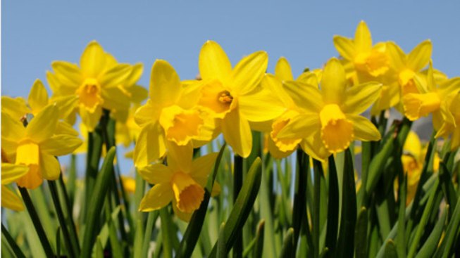 Spotlight! Daffodil Days
