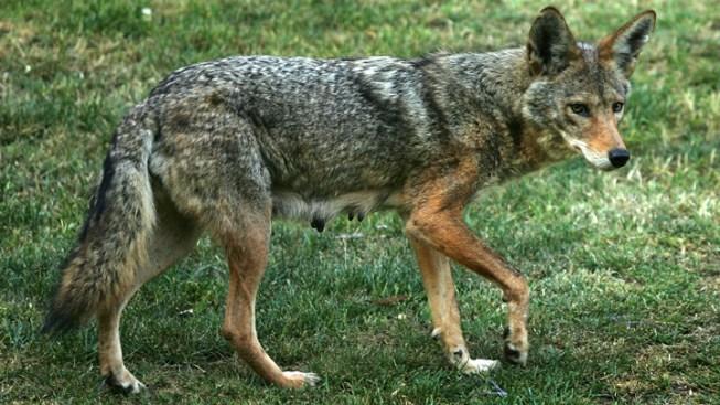 No Hunt: Coyotes Left to Roam