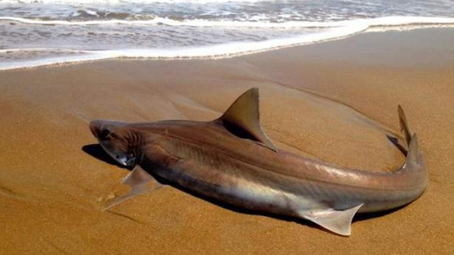 Live shark comes ashore at rehoboth beach nbc 10 for Rehoboth beach fishing