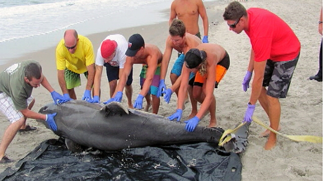 Officials: Jersey Shore Dolphin Deaths Not Related to Water Quality