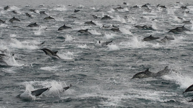 Thousands of Dolphins Spotted Near San Diego