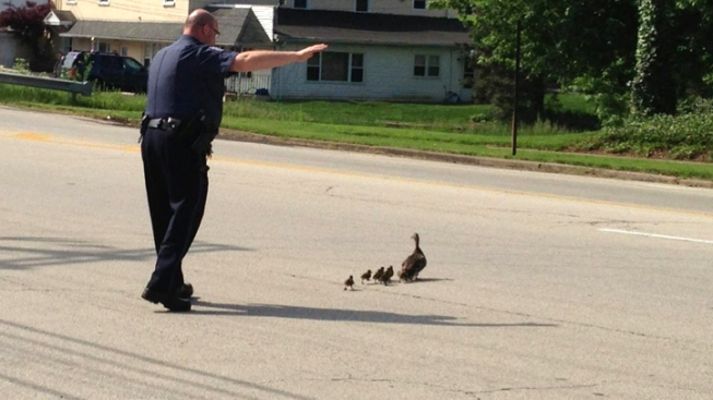 Ducklings Rescued From Storm Drain