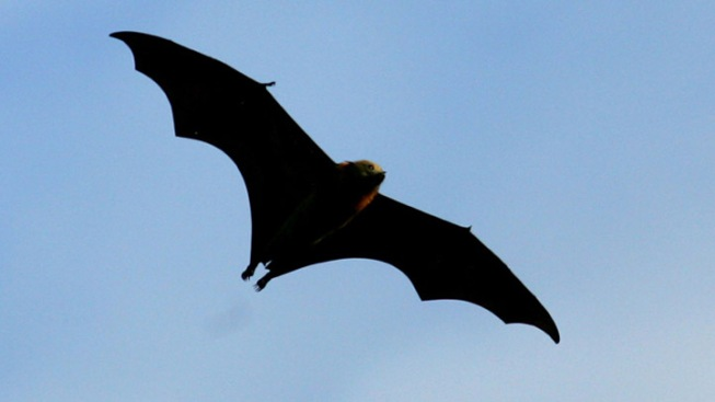 Infection Nearly Wipes Out Bucks Co. Bat Population