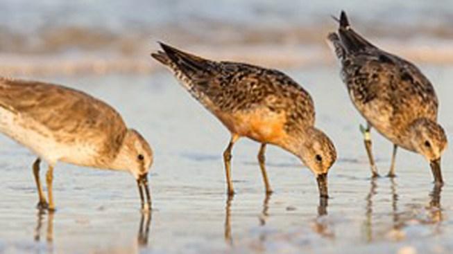 Racing to Save an Endangered Shorebird