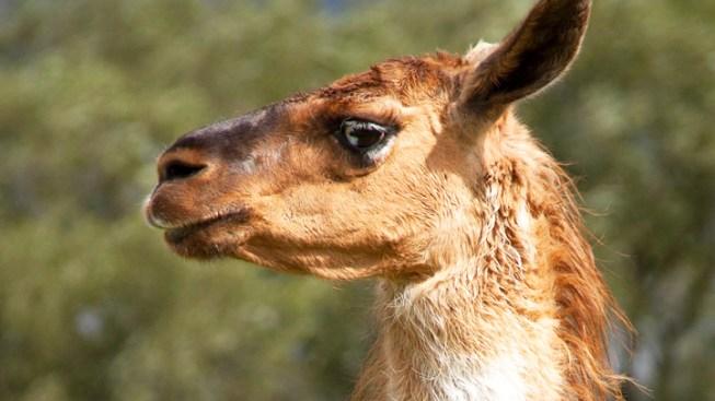 Pungent Llama Stench Prompts Shutdown