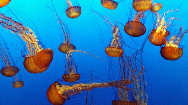 Jellyfish Invade Ocean County Waters