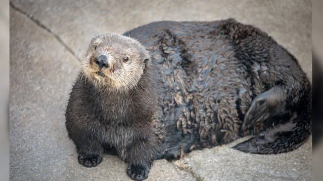 Monterey Bay Aquarium Tweets Picture of 'Thicc' Otter, Gets Backlash