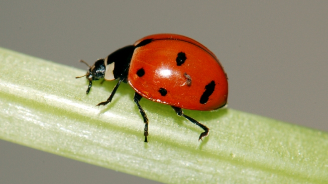 72,000 Ladybugs Released in High School as Senior Prank