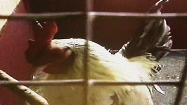 Philly Suburb Wants to Ban Roosters