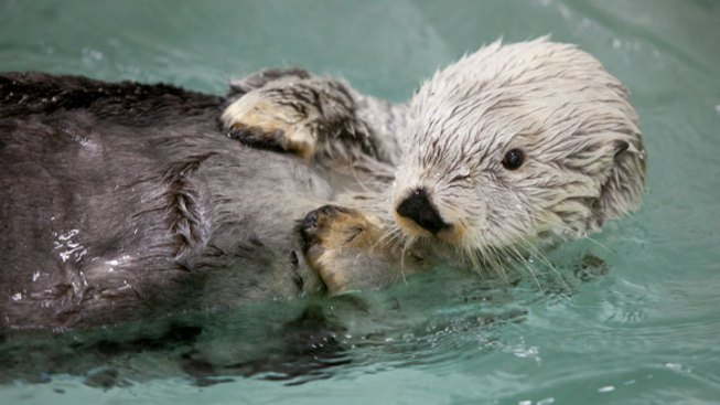 Otter Dunks Basketball at the Oregon Zoo