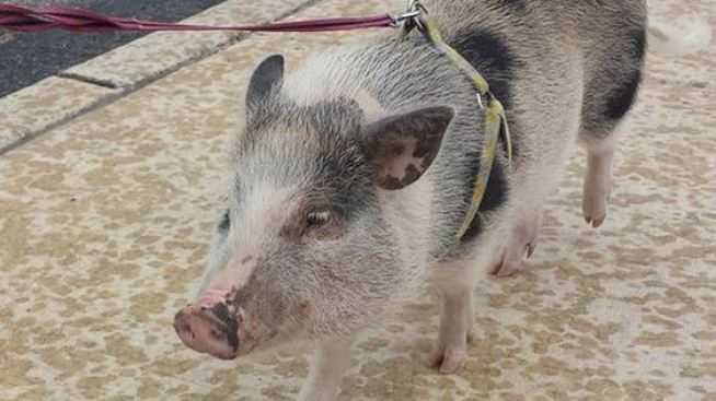 Pet Pig Roams Philly Streets, Shines on Instagram