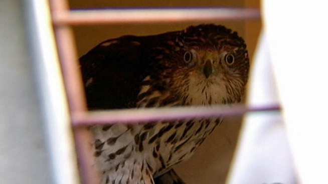 NBC10's Tim Furlong is live at the scene where a Cooper's Hawk is released back into the wild after he was found injured, hobbling on the streets of Wilmington, Del. in late December.