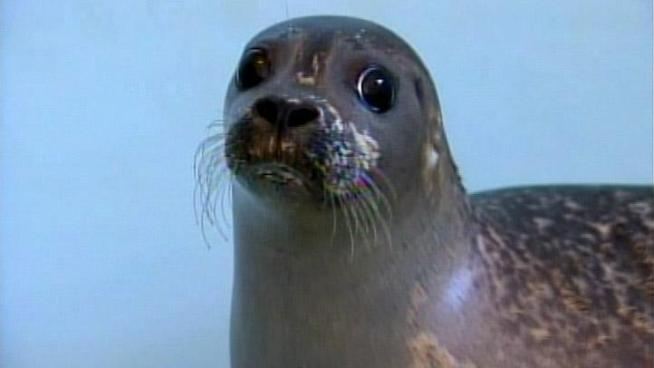 Nearly a dozen seals that have become stranded along the <a title=