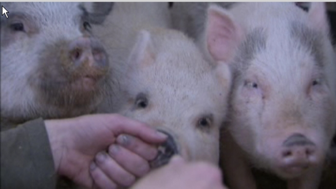 New Flu Spreading from Pigs to People
