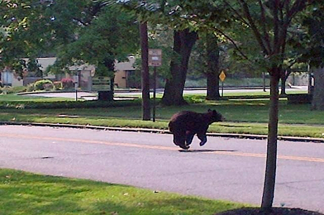 NJ Bear Sightings Stir Up Locals