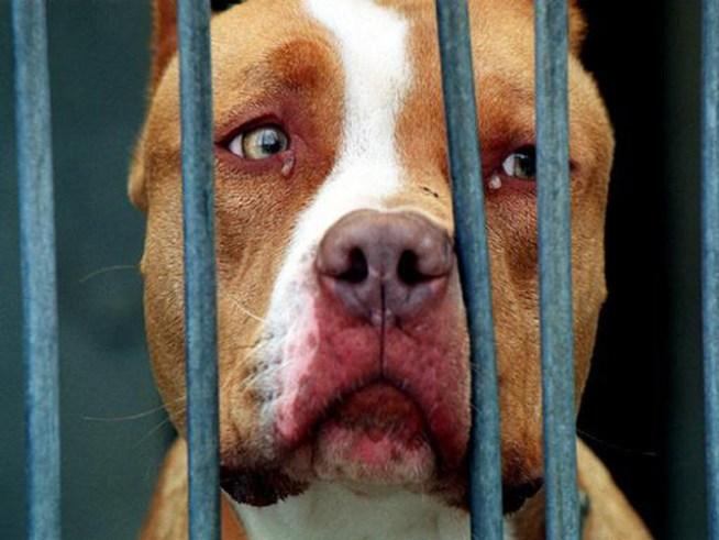 Ban Pit Bulls As Family Pets | NBC 10 Philadelphia