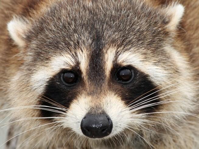 Vet: Don't Wash Rabies Bites | NBC 10 Philadelphia Raccoon With Rabies