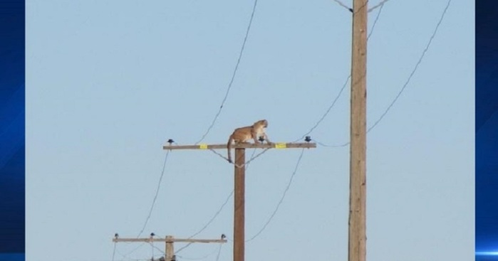 SoCal City Issues Warning After Mountain Lion Spotted Atop Telephone Pole