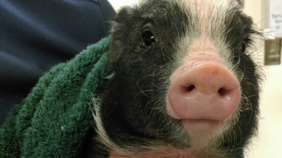 'Precocious Porker': Wayward Piglet Rescued by Friar in San Francisco
